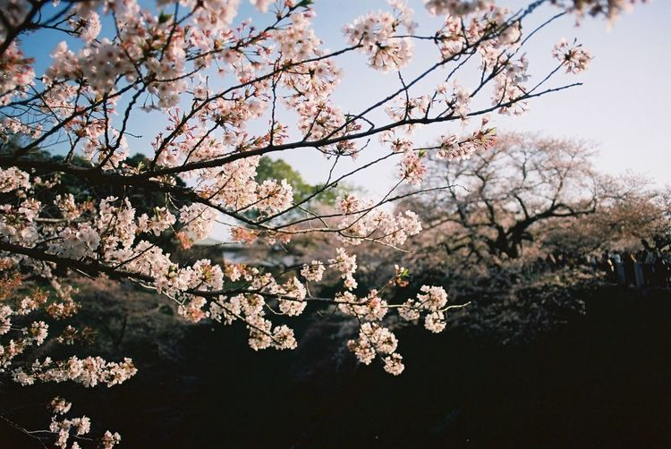 Spring Film Photography Plant Tree Flower Flowering Plant Branch Beauty In Nature Blossom Springtime Cherry Blossom Cherry Tree