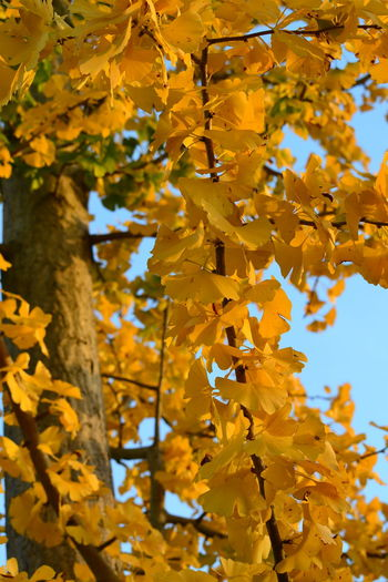 Autumn Autumn Leaves Beauty In Nature Day Growth Nature Tree Yellow