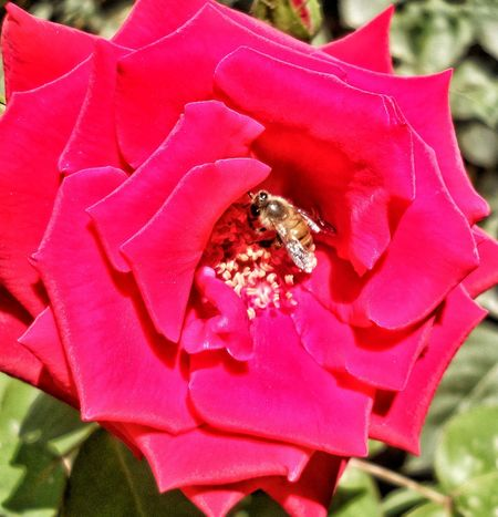 Bee inside the flower Flower No People Pink Color Close-up Flower Head Nature Beauty In Nature Outdoors Red Collecting Nectar Rosé Bee In Rose