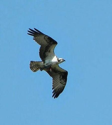 Osprey  Osprey With A Fish Osprey Flying
