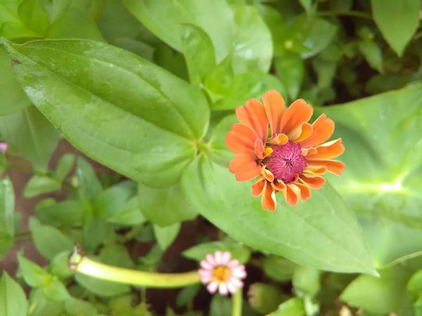 Flower Fragility Nature Beauty In Nature Flower Head Petal Freshness Plant Close-up Growth Pollen Leaf Green Color Blooming Outdoors No People Day Zinnia  Flowerlovers Cute Flower Flowers In My Garden Cute Flowers Multi Color Flowers Flower Collection Nature