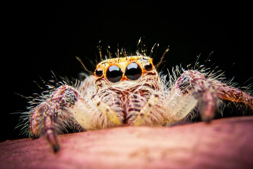 Jumping spider Macro Photography Spider Maximum Closeness