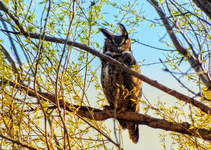GREAT HORNED OWL ON A WINDY SPRING DAY Owl Great Horned Owl Tree Animals In The Wild Nature Wildlife & Nature Beauty In Nature Bird Wildlife Blue Sky Spring Perching On A Branch Owlets Leaves Sunset Branches Tree Branch Sky Animal Themes Perching