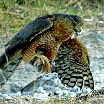 This Coopers Hawk, took a Mourning Dove right out of the sky and landed in my backyard to devour his prey! It was so sad for the Dove, but I figured it's natures way! Tucson Arizona Coopershawk Only_raptors Beautiful Udog_feathers Earth_in_bloom Eye_for_earth Foto_fanatics_nature Nature_hippys Nature_brilliance Insta_gram_shooters Great_captures_nature Everything_animals Feather_perfection Natures_lens Nature Predator Raptor Nature_or_nothing Natura_le Birds_of_instagram Stalking_nature_ Nature_up_close Amateurs_shot foto_catchers