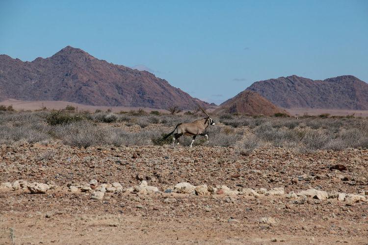 Oryx running at desert against clear sky