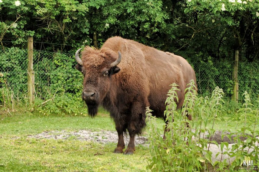 Bison Animal Zoo Animals Nature Nature_collection GivskudZOO Denmark 🇩🇰 Denmark Summer EyeEm Masterclass Streamzoofamily EyeEm Nature Lover Eye4photography  Nikon Mammal Looking At Camera Summertime Zoology Furry BIG Capture The Moment Animal Photography Landscape Landscape_Collection
