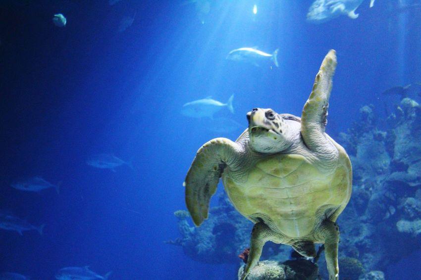 waving turtle Waving Funny Blue UnderSea Sea Life Water Swimming Sea Turtle Underwater Aquarium Sea Fish Animal Shell Animal Fin Animals In Captivity Turtle Aquatic