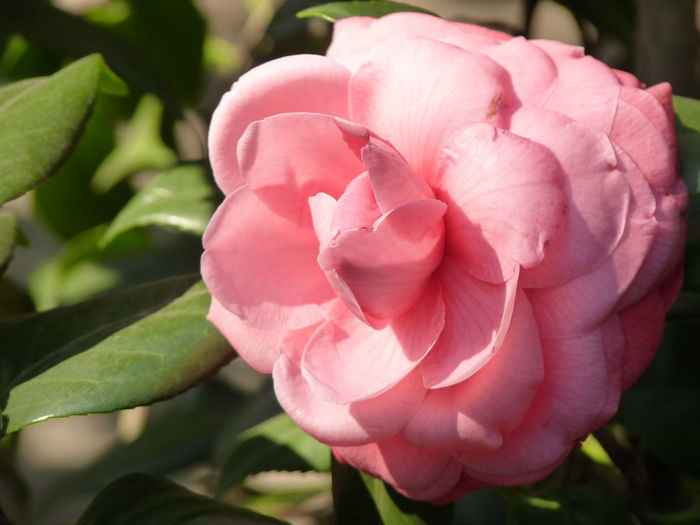Camellia Camellia Camellia Japonica Beauty In Nature Camellia Flower Camellia Flowers Close-up Day Flower Flower Head Flowering Plant Focus On Foreground Fragility Freshness Growth Inflorescence Nature No People Petal Pink Color Plant Plant Part Rosé Vulnerability