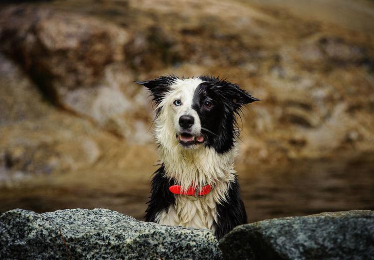 Portrait of wet border collie by rocks