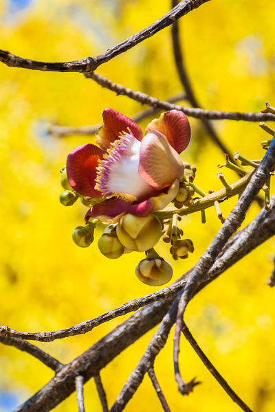 Many cannonball tree planted in Buddhist temple. Asia; Background; Bloom; Buddhist; Cannonball Tree; Cassia; Close-up Colorful; Day Decorate; Flower Flower Head Fragility Freshness Garden; Growth Nature Outdoors Plant; Red; Shorea Robusta; Summer; Sunny; Tropical; Yellow