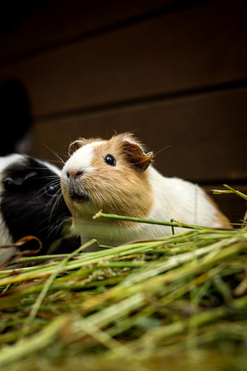 cavia porcellus has a slightly open mouth and looks at its comrades and grinds at the stubborn grass