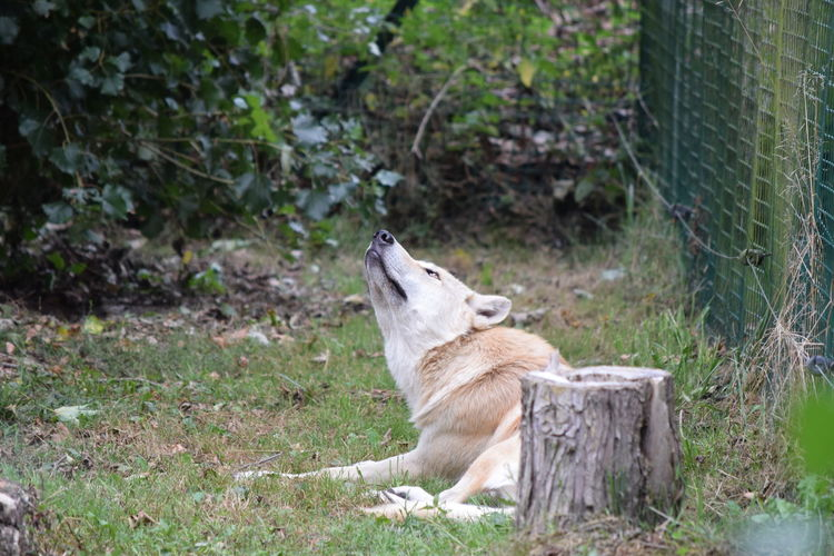Alertness Animal Themes Animals In The Wild Day Field Focus On Foreground Herbivorous Loup Canadien Mammal Nature No People Non-urban Scene One Animal Side View Sitting Tranquility Tree Trunk Wildlife Wolf Zoology