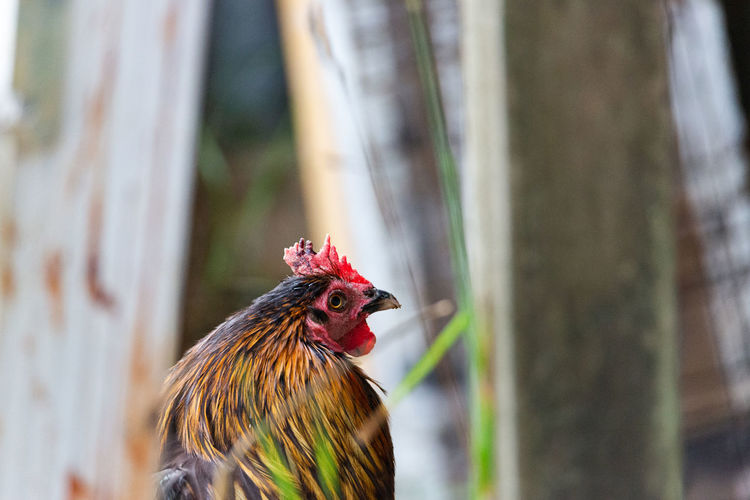 Close-up of rooster