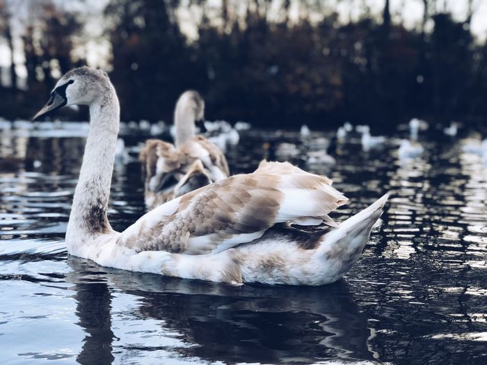 EyeEm Best Shots Water Bird Animals In The Wild Vertebrate Animal Themes Animal Wildlife Animal Lake Group Of Animals Swan Waterfront Water Bird Swimming Nature No People Day Focus On Foreground Goose Zoology Cygnet
