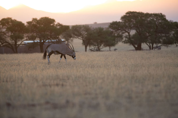 Side view of antelope standing on grassy field against trees