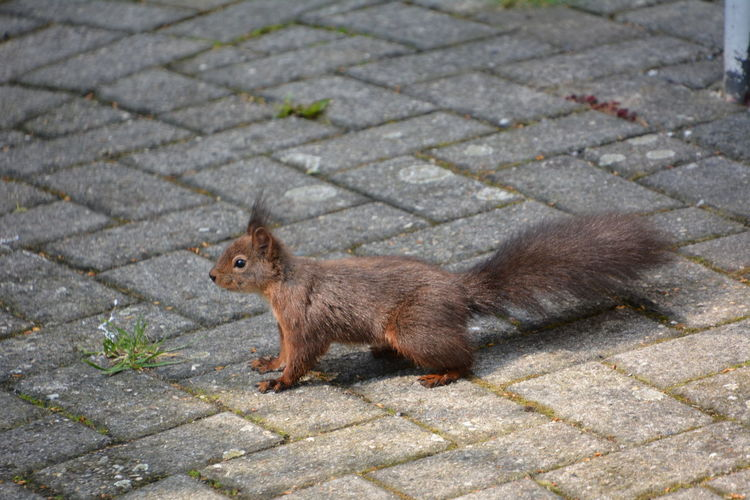 Squirrel Eichhörnchen Animals In The Wild One Animal Animal Wildlife Cobblestone Street Footpath No People Side View High Angle View Mammal Stone Day Full Length Paving Stone Rodent City Outdoors