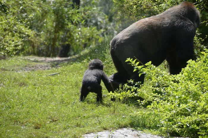 Wildlife & Nature Ape Gorilla Gorillas Wildlife EyeEm Nature Lover Streamzoofamily StreamzooVille Monkey Animals