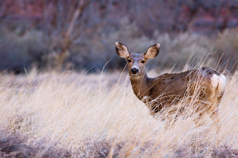 Portrait Of Deer Standing Amidst Dry Grass On Field