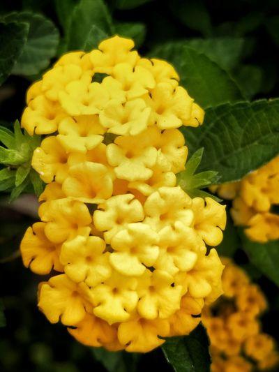 葫蘆 一樣 的小花