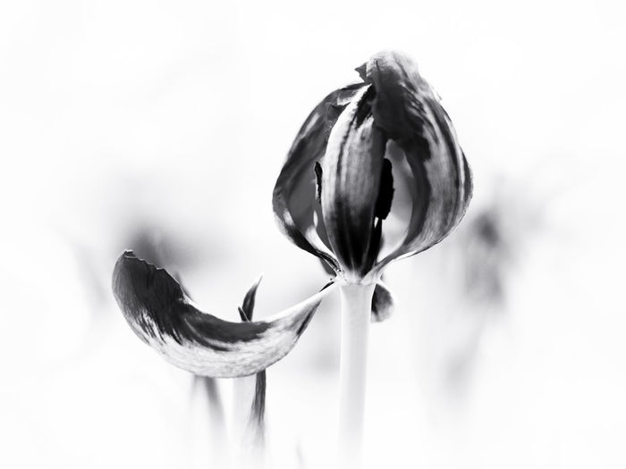 Close-up Dead Tulip Dying Dying Flowers Flower Flower Head Fragility Nature No People Petal Single Flower White Background