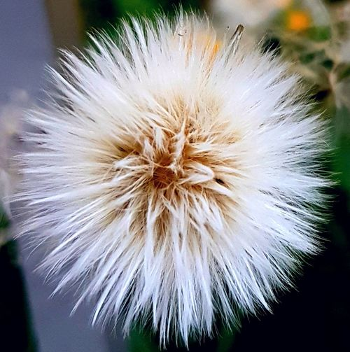 Dandelion White Close-up Fragility Nature No People Flower Head White Flower