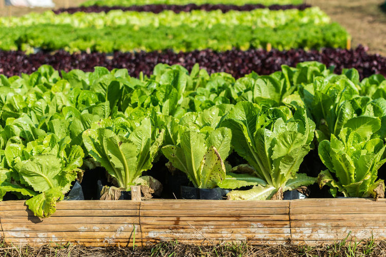 Rows Of Cultivated Salad