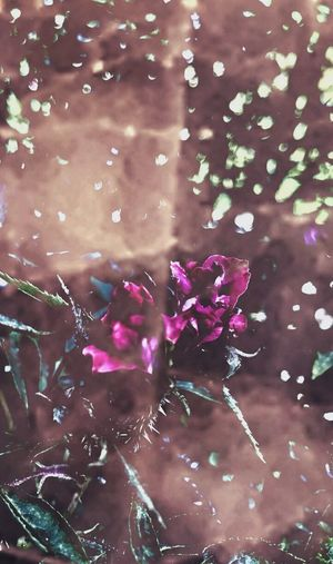 https://youtu.be/_e2e_8Hh3AA Nature Lovers Flowerporn Kiss From A Rose Fragility Fantasy No People Beauty In Nature Chasing The Light  Musical Photos