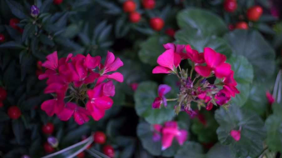 Flower Flower Flowering Plant Plant Pink Color Freshness Beauty In Nature Fragility Inflorescence Flower Head Day Focus On Foreground Close-up Nature No People Magenta High Angle View Petal Vulnerability  Growth One Animal