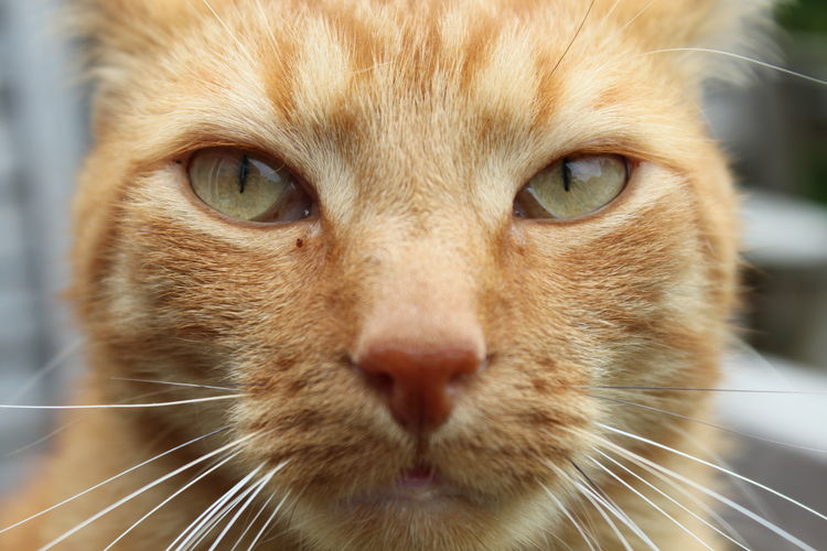 Animal Animal Eye Animal Head  Animal Themes Cat Close-up Ginger Cat Gingercat Gingercat I Adore Gingercatsrule Huisdier Pets Portrait Rode Kater Snout Staring Whisker Cat♡ Cat Lovers Catoftheday Cats Of EyeEm Cats 🐱 Cat Eyes Cat Photography Look At Me