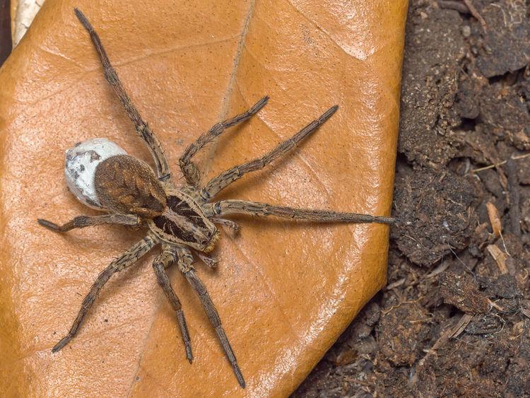 Spider Hogna radiata with her eggsack Hogna Radiata Spider Close-up Day Eggsack Nature No People