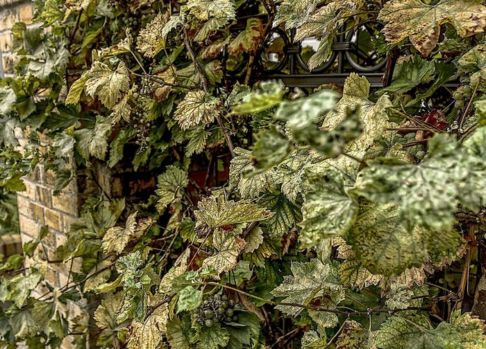 Backgrounds Beauty In Nature Full Frame Hdrphotography Low Angle View Nature No People Outdoors Sony A6000 Streetphotography Trauben Tree Vino Wein