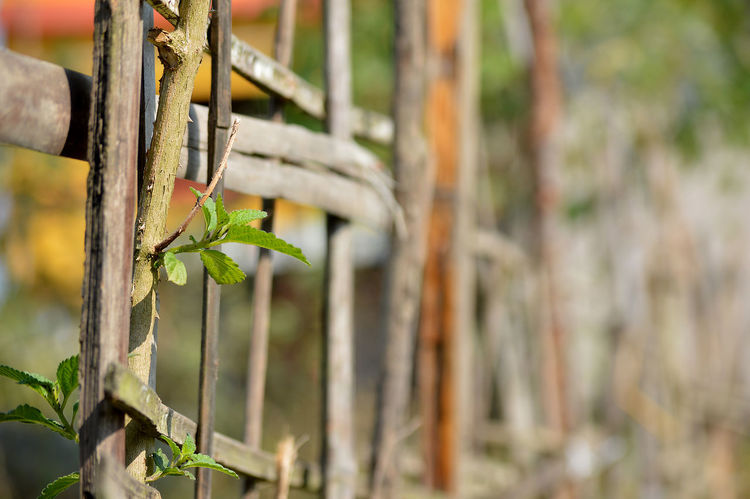 Animal Themes Close Up Nature Close-up Closeup Photography Day Dry Fence Fences Fences & Beyond Focus On Foreground Growing Growth Leaf Natural Fence Natural Light Nature Nature Nature On Your Doorstep Nature Photography Nature_collection Naturelovers No People Outdoors Plant Sunlight