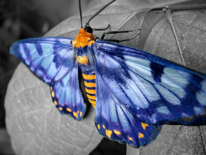 Moth Colourful Blue Purple Orange Blackandwhite Schwarzweiß Leaves🌿 Outdoors EyeEmNewHere Darwin, Northern Territory Australia Backyard Insect Animal Wing Close-up Natural Pattern Animal Markings Spread Wings Multi Colored One Animal No People Blau Furry Original Colour