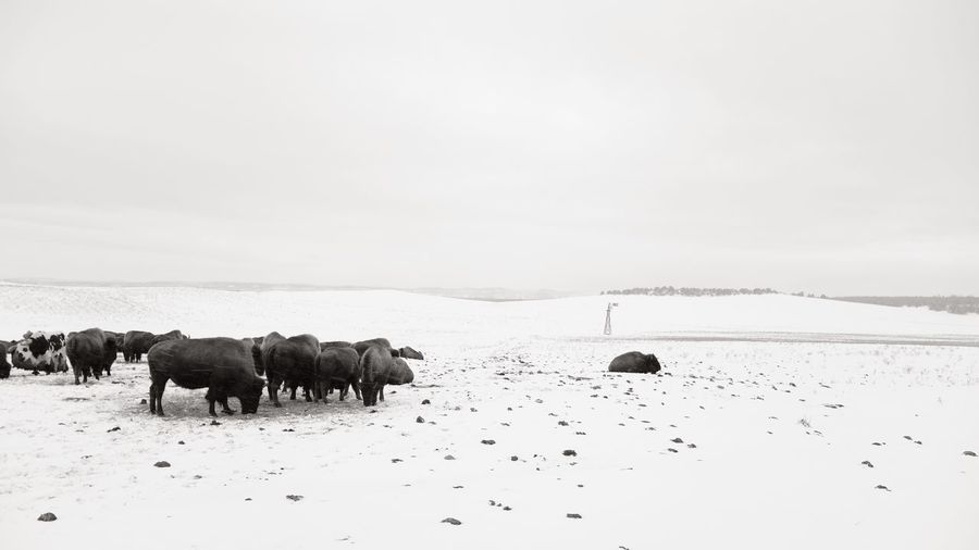 View of american bison grazing on snowy field in winter