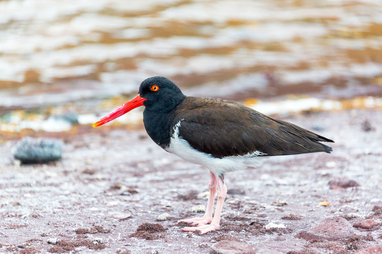 Closeup of an American Oystercatcher bird in the Galapagos Islands American Oystercatcher Animal Beach Bird Coast Darwin Ecuador Feather  Foot Galapagos Galapagos Islands Haematopus Palliatus Islands Marine National Park Nature Ocean Pacific Pacific Ocean Reserve Santiago Island Seabird Water Wild Wildlife Market Reviewers' Top Picks