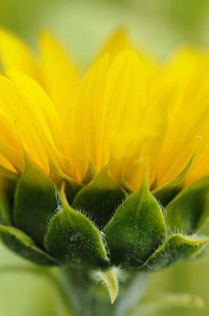 Colour Of Life Flowerhead Flower Photography Macro Beautifulcolours Naturel Light Lovelynatureshots Focus On Foreground FlowerofLove Sunflower