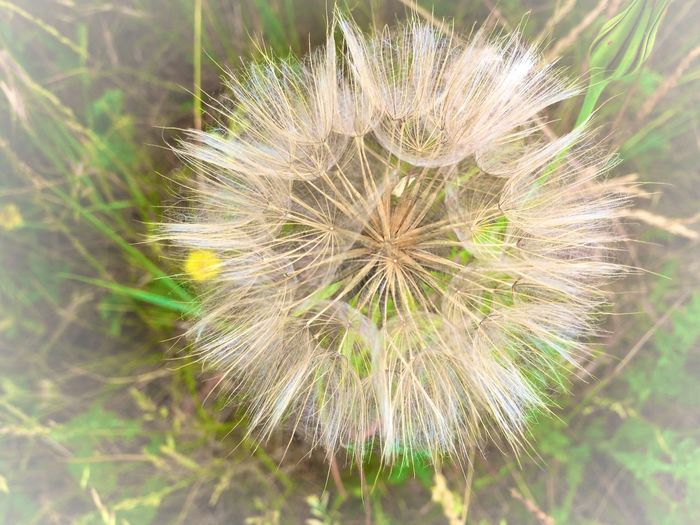 Experiment Nature Plant Flower Dandelion Freshness Flowering Plant Fragility Growth Nature No People Beauty In Nature