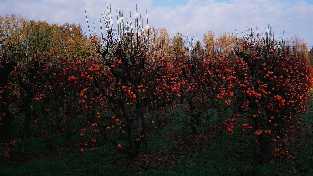 Autumn colors Orange Color Cachi Tree Flower Red Sky Close-up