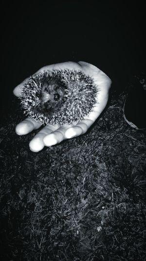 Sweet Hedgehog School