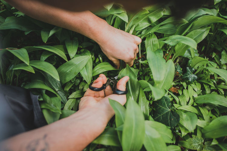 Body Part Close-up Finger Gardening Green Color Growth Hand Herb Holding Human Body Part Human Hand Human Limb Leaf Leaves Lifestyles Men Nature One Person Outdoors Plant Plant Part Real People Touching Unrecognizable Person Wild Garlic
