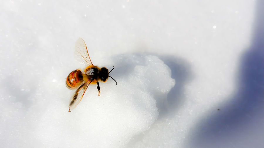 Insect Nature One Animal Animals In The Wild Animal Themes Close-up Cold Temperature Animal Wildlife Beauty In Nature Winter No People Outdoors Snowing Snow Day Honeybees HoneyBee Bee 🐝 Beesofeyeem Bees