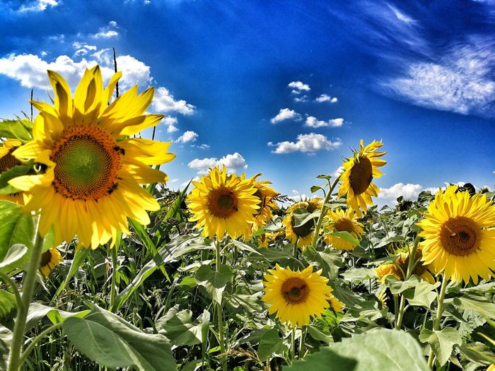 Flower Nature Beauty In Nature Petal Flower Head Yellow Freshness Sky Sunflower Cloud - Sky Close-up Outdoors Day Plant Transilvania, Romania Romania Fragility Growth Botany Uncultivated No People Blooming Sunflowers Sunflowers🌻 Sunflowers Field