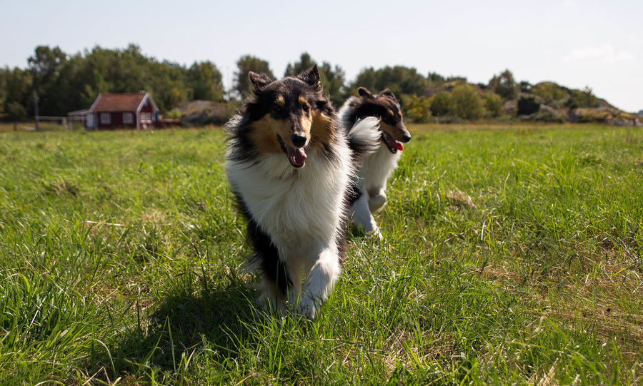 Molly and Kendza are sisters, They are so sweet to each other, and I LOVE them so much. Here we was walking by the sea, just outside Gothenburg. Collie Collies Dog Doglover Dogs Free Spirit Havingfun Lassie Love Love Is Not Just A Verb, It's You Looking In The Mirror Love Lovely Sun Summer2015 Happiness Collie #roughcollie #photooftheday #cute #dogsofinstagram #bordercollie #igers #poser #saturday #happiness #dogstagram #bluemerle #dog #welshcollie #lovedogs #bordercollies #ig #igdaily #potd #picoftheday #happy #love Playtime Befree ❤️ Don't Worry Be Happy Animal_collection Two Of A Kind Summer ☀ Pets Dogstagram Dogslife