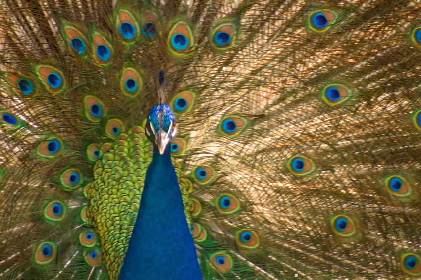 Close up of a peacock displaying Animal Themes Animal Wildlife Animals In The Wild Beauty In Nature Bird Close-up Day Fanned Out Feather  Multi Colored Nature No People One Animal Outdoors Peacock Peacock Feather Spread Wings