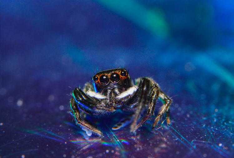 spider Animal Animal Body Part Animal Head  Animal Markings Animal Themes Beauty In Nature Black Color Blue Close-up Day Focus On Foreground Multi Colored Natural Pattern Nature No People Outdoors Portrait Selective Focus Turtle