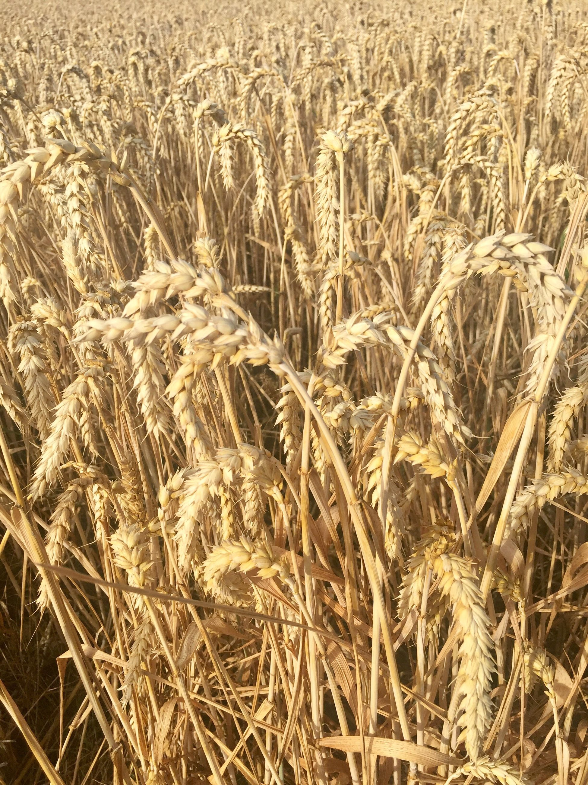 agriculture, cereal plant, wheat, crop, field, farm, growth, nature, plant, rural scene, backgrounds, gold colored, straw, outdoors, no people, full frame, summer, day, grass, close-up, rye - grain, beauty in nature
