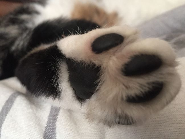 Cat's Paw Pets Domestic Cat Domestic Animals One Animal Mammal Animal Themes No People Close-up Indoors  Looking At Camera Feline Portrait Paw Animal Leg Day