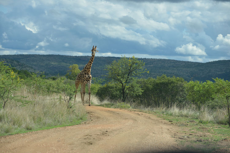 Giraffe in