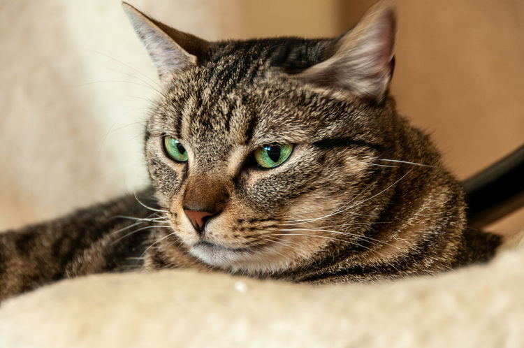 looking cat Animal Animal Eye Animal Head  Animal Themes Cat Close-up Domestic Domestic Animals Domestic Cat Feline Furniture Indoors  Lying Down Mammal No People One Animal Pets Portrait Relaxation Selective Focus Tabby Vertebrate Whisker