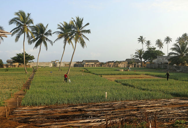 Growing onions close to the see at Grand Popo, Benin, West-Africa. A beautiful landscape with coconut trees African Agriculture Benin Travel Travel Photography Traveling Tropical Paradise Africa Agricultural Land Beauty In Nature Day Field Grand Popo Grass Growing Onions Landscape Nature Outdoors Palm Tree Scenics Sky Travel Destinations Tree Tropical Tropical Climate